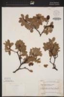 Arctostaphylos crustacea subsp. insulicola image