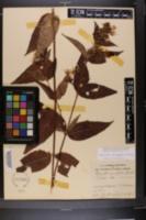 Diervilla sessilifolia image