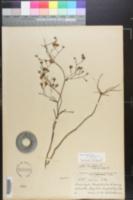 Symphyotrichum bracei image
