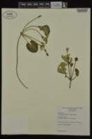 Nymphoides peltata image