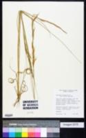 Image of Aristida recurvata