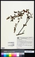 Image of Krameria tomentosa