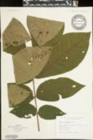 Carya tomentosa image
