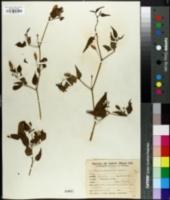 Image of Capsicum chacoense