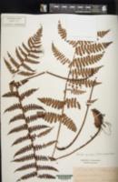 Image of Dryopteris apiciflora
