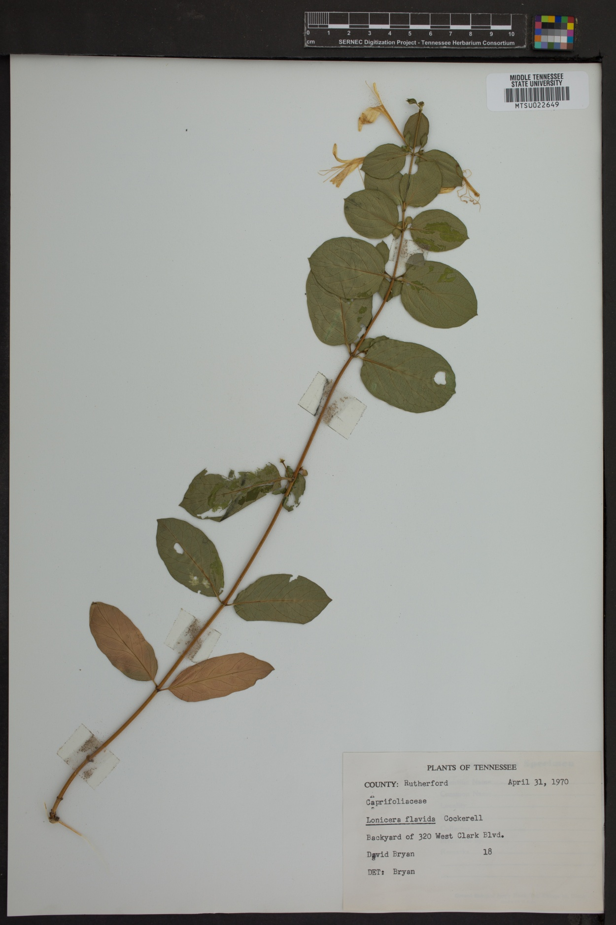 Lonicera flavida image