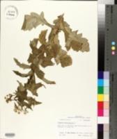 Erigeron philadelphicus image