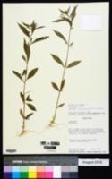 Hybanthus attenuatus image