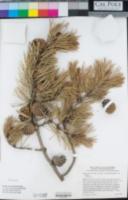 Pinus contorta var. latifolia image