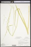 Glyceria arkansana image