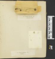 Coprinellus ephemerus image