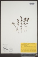 Image of Odontites litoralis