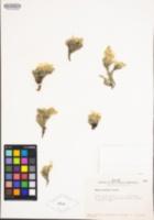 Phlox condensata image
