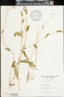 Image of Polypodium saffordii