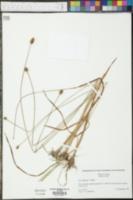 Xyris difformis image
