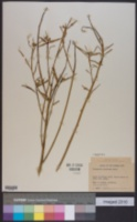 Euphorbia pinetorum image