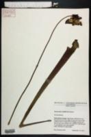 Image of Sarracenia x bellii