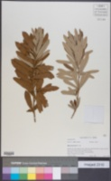 Image of Rhus discolor