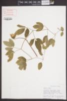 Clematis crispa image