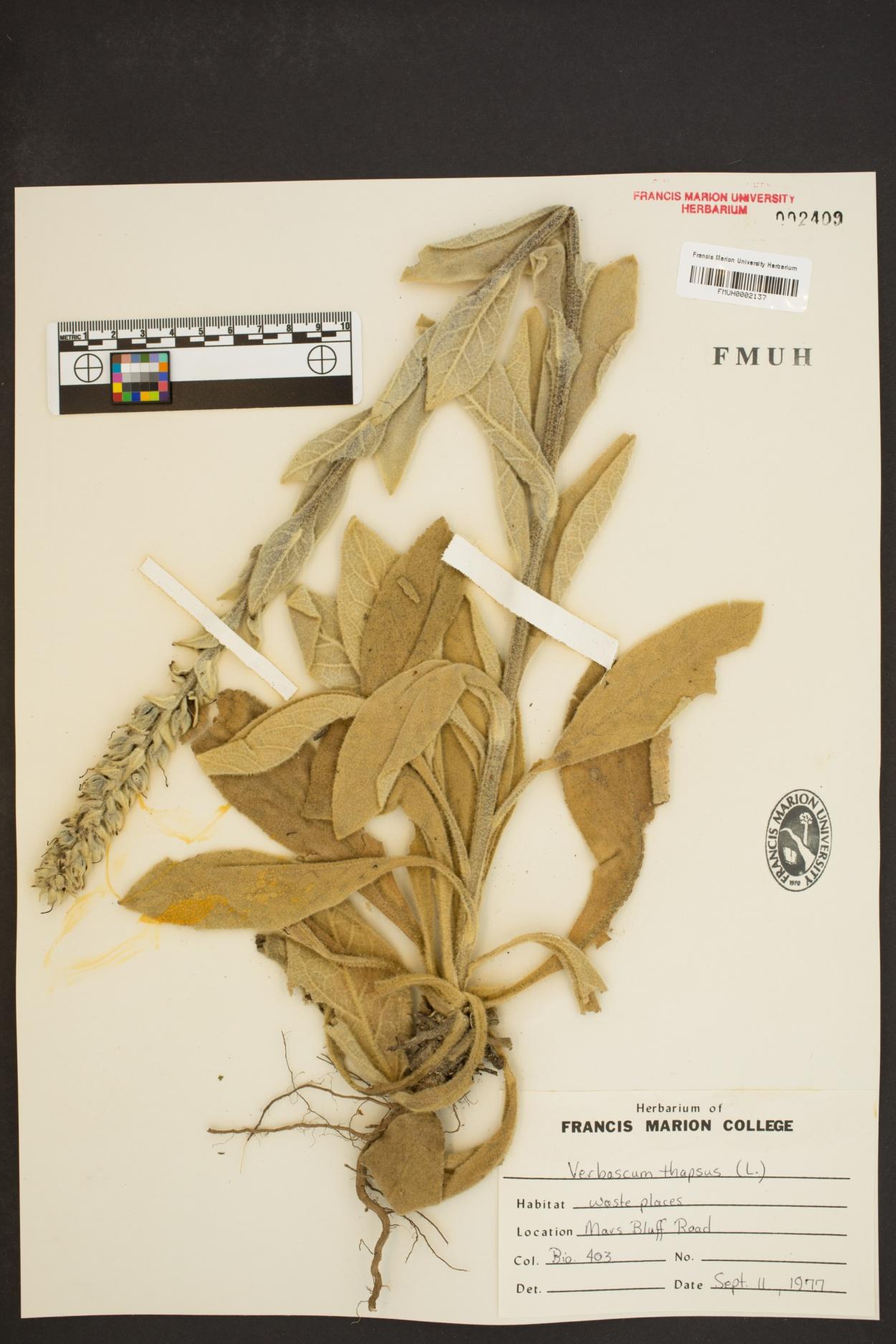 Verbascum thapsiforme image