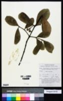 Image of Carallia brachiata