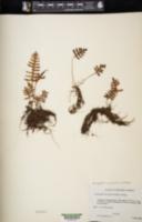 Image of Pleopeltis guttata