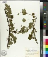 Image of Ribes curvatum