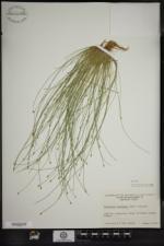 Eleocharis intermedia image