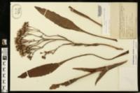 Arnoglossum ovatum image