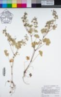 Image of Geranium rotundifolium