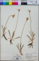 Raillardella scaposa image
