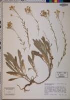Alyssum saxatile image