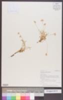 Image of Eriogonum exilifolium