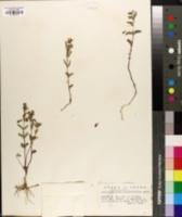 Scutellaria antirrhinoides image