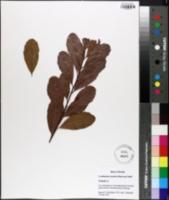 Image of Cerothamnus inodorus