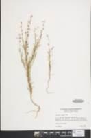 Image of Oenothera linifolia
