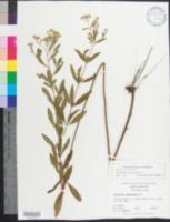 Image of Eupatorium semiserratum