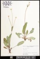 Krigia biflora image