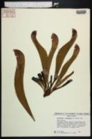 Image of Sarracenia x wrigleyana