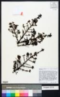 Image of Ceanothus dentatus