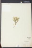 Image of Panicum albemarlense