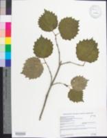 Image of Viburnum bracteatum