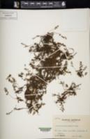 Image of Pleurosoriopsis makinoi