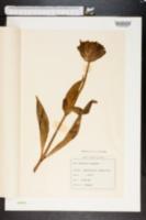 Image of Gentiana purpurea
