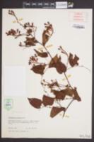 Image of Brunnichia cirrhosa