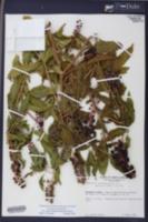 Phytolacca americana var. rigida image