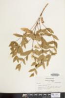 Image of Clematis viticaulis