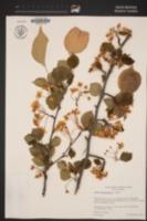 Image of Pyrus betulifolia