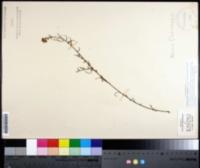 Image of Symphyotrichum chapmanii