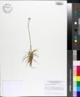 Image of Eriocaulon aquaticum